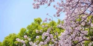 粉色满心 | 樱花树下的那些浪漫事