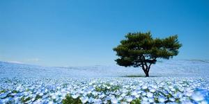 除了看樱花,春天来日本还可以看见一整片蓝色的粉蝶花海